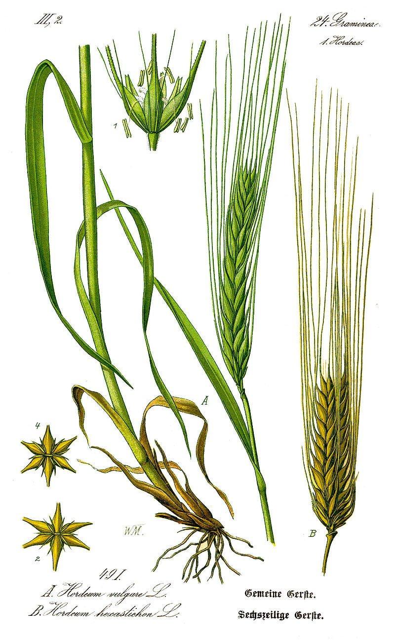 Botanical illustration of the barley plant